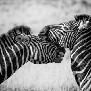 Quadro - Zebra
