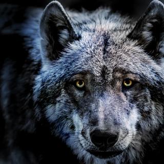 Quadro - Face Wolf