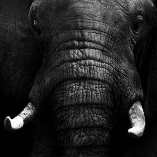 Quadro - Black elephant