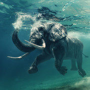 Quadro - Elephant swimming
