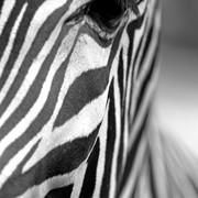 Quadro - Eye Zebra