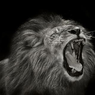 Quadro - Black Lion