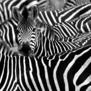 Quadro - Black Zebra II