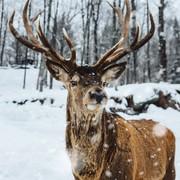 Quadro - Deer on Snow
