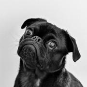 Quadro - Black Pug