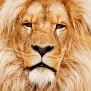 Quadro - Golden Lion