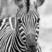 Quadro - Photo Zebra