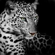 Quadro - Black Jaguar