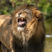 Quadro - Roaring Lion