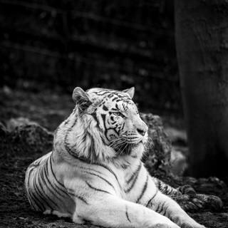 Quadro - Tiger X