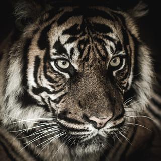 Quadro - Tiger IX