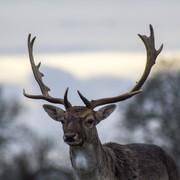 Quadro - Deer