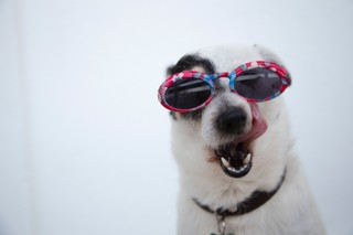 Dog of sunglass