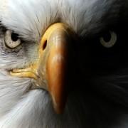 Quadro - Eagle eye