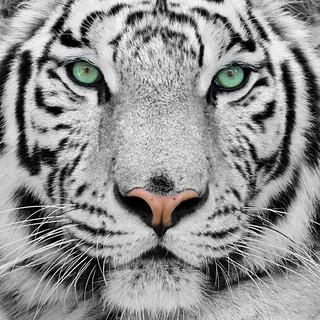 Quadro - White Tiger