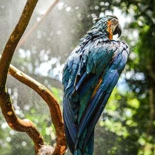 Quadro - Blue Macaw