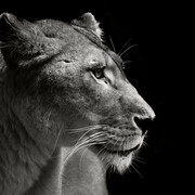 Quadro - Black lioness
