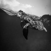 Quadro - Black Turtle