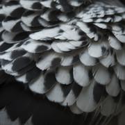 Quadro - Black Feather