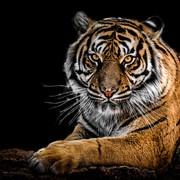 Quadro - Close Tiger