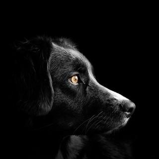 Quadro - Black Dog