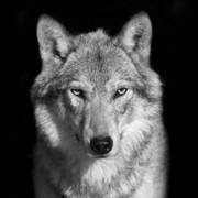 Quadro - Black Wolf