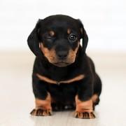 Quadro - Mini Dog