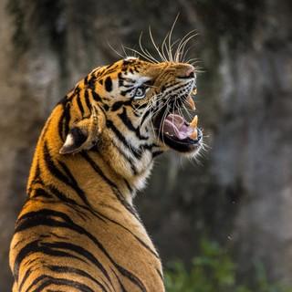 Quadro - Tiger I