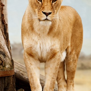 Quadro - Lioness