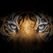 Quadro - Eye Tiger
