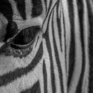 Quadro - Eye Zebra II