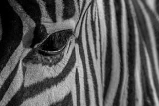 Eye Zebra II
