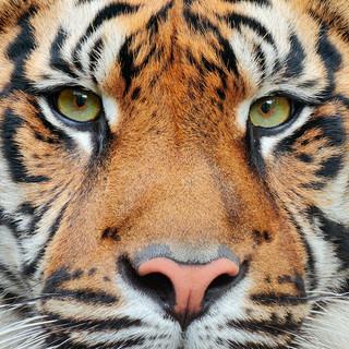 Quadro - Face Tiger