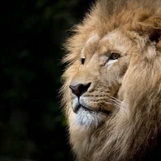 Quadro - Zoo Lion